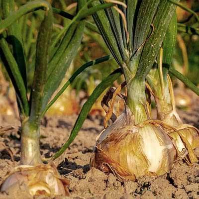 Cipolla dorata - pulmino contadino